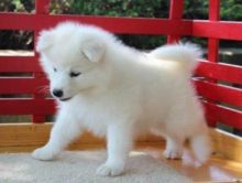 Samoyed pups Male and female available