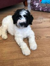 Spanish Water Dogs For Adoption