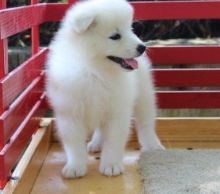 Gorgeous Samoyed Puppies