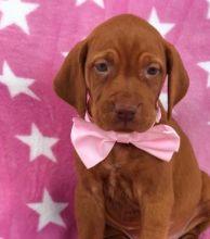 Super Cute vizsla puppies Image eClassifieds4U