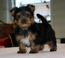 Yorkshire Terrier Puppies For Adoption Image eClassifieds4U