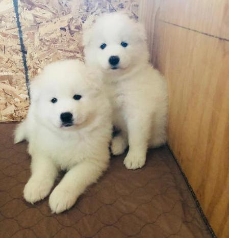Samoyed Puppies for re homing Image eClassifieds4u