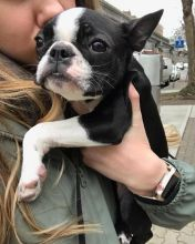 Ckc Boston Terrier Puppies  Email at us  [ justinmill902@gmail.com ]
