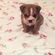 Dramatic Ckc English Bulldog Puppies Available [ justinmill902@gmail.com]