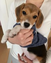 Fabulous Ckc Beagle Puppies  Email at us  [ justinmill902@gmail.com ]
