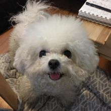 Ckc Bichon Frise Puppies Email at us  [justinmill902@gmail.com ]
