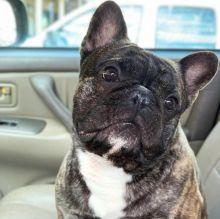 Ckc French Bulldog Puppies  Email at us  [ justinmill902@gmail.com ]