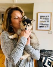 Ckc Pomsky Puppies  Email at us  [ justinmill902@gmail.com ]