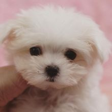 Sensational Ckc Maltese Puppies Available [ justinmill902@gmail.com]