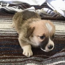 Teacup Pembroke Puppies  Email at us  [ justinmill902@gmail.com ]