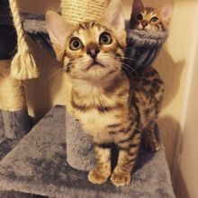 Awesome and Fantastic Bengal Kittens