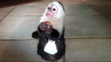 Beautiful capuchin monkeys available at good prices