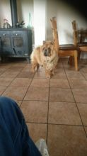 Contact for her Chow Chow Puppies