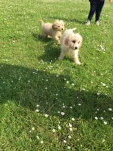 Flowerless Cava - Poo Puppies ready for good homes