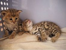 Healthy and Cutest Savannah Kittens for kitten lovers
