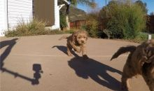 Home trained Golden Doodle puppies for great homes..