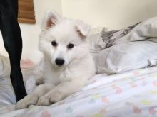 Japanese Spitz puppies for great homes