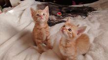Lovely Ginger Ragdoll Kittens available for adoption