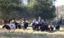 We have Cattle of various types for sale