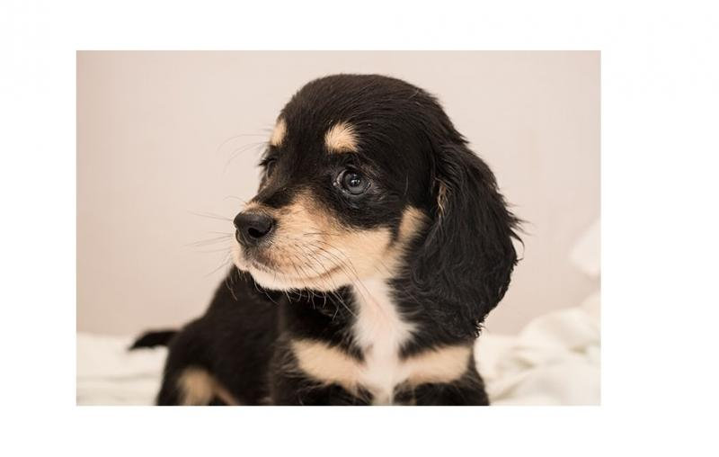 Female Dachshund puppy for good homes Image eClassifieds4u