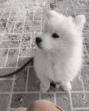 Breathtaking Ckc Samoyed Puppies Available