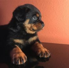 Energetic Ckc Rottweiler Puppies Available