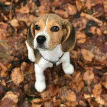 Staggering Ckc Beagle Puppies Available
