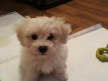 Affectionate Bichon Frise Puppies ready for Rehoming