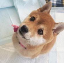Astonishing Ckc Shiba Inu Puppies Available [ justinmill902@gmail.com]