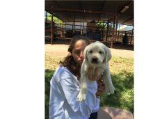 Baby Labrador Retriever puppies for adoption 204-500-9278