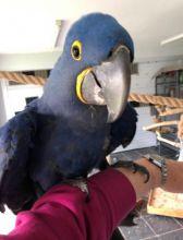 Beautiful hyacinth macaw