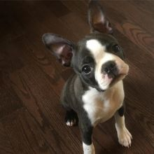 Energetic Ckc Boston Terrier Puppies Available [ justinmill902@gmail.com]