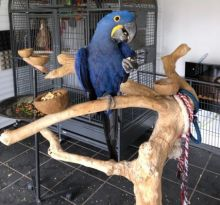 friendly hyacinth macaws
