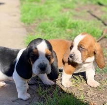 Lovely with Amazing Characteristics Basset Hound Puppies For Adoption