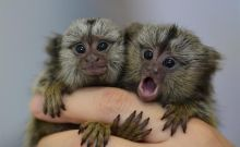 Male and female Marmoset Monkeys for re-homing.