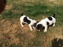 MINIATURE JACK RUSSEL TERRIER PUPPIES