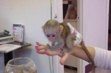playful and very social Capuchin Monkeys