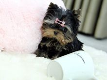 Sensational Ckc yorkie Puppies Available