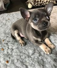 Special and healthy Chihuahua puppies for adoption