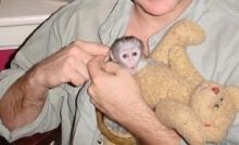 Top quality baby Capuchin monkeys