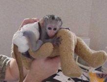 wonderful companions Capuchin Monkeys