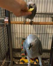 Hand Reared Tame Talking African Grey parrots Image eClassifieds4u 3