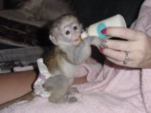 Very sweet and entertaining Capuchin Monkeys Image eClassifieds4u 2