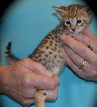 TICA registered Savannah kittens