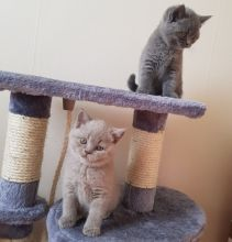 British Short hair Female and male Kittens Ready Now