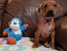 Rhodesian Ridgeback Puppies For Adoption