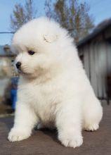Samoyed Puppies For Adoption