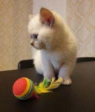Scottish Fold kittens available