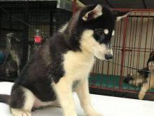 Siberian Husky Puppies For Adoption