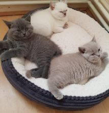 very playful and confident British Short hair kittens